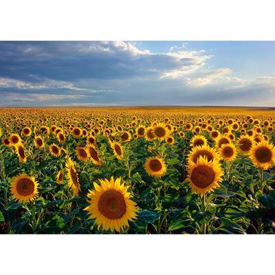 Dusk Sunflowers 24X16