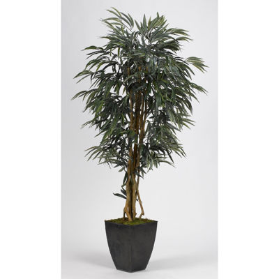 Picture of Weeping Ficus Tree