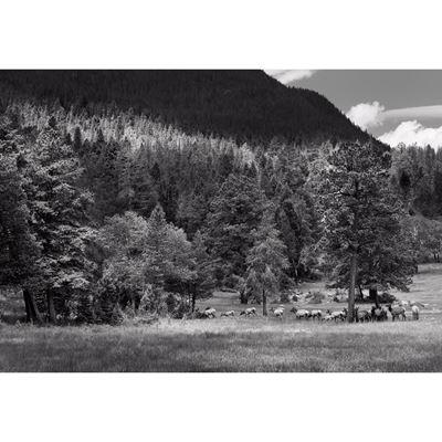 Elk In Rocky Mountain NP-BW 48