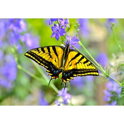 Swallowtail Butterfly 24x16