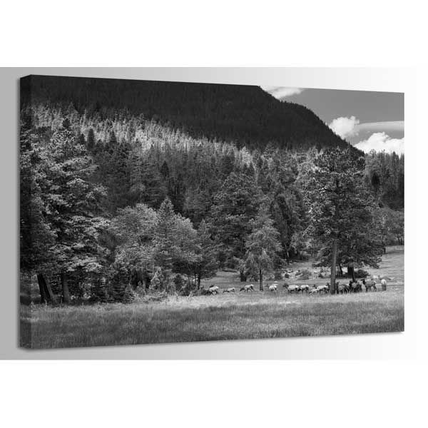 Picture of Elk In Rocky Mountain NP-BW 48 *D