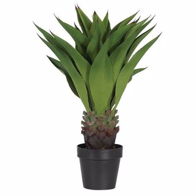 Picture of AGAVE PLANT BLACK POT