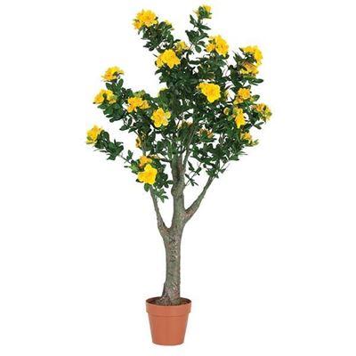 Picture of 5 FT AZALEA PLANT