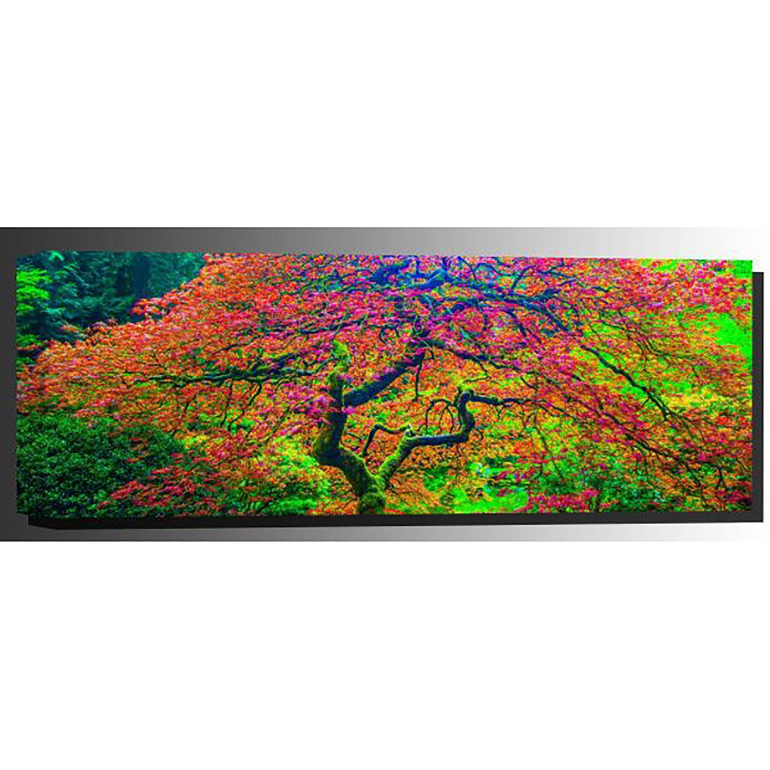 Picture of Japanese Maple 2 20x60 *D