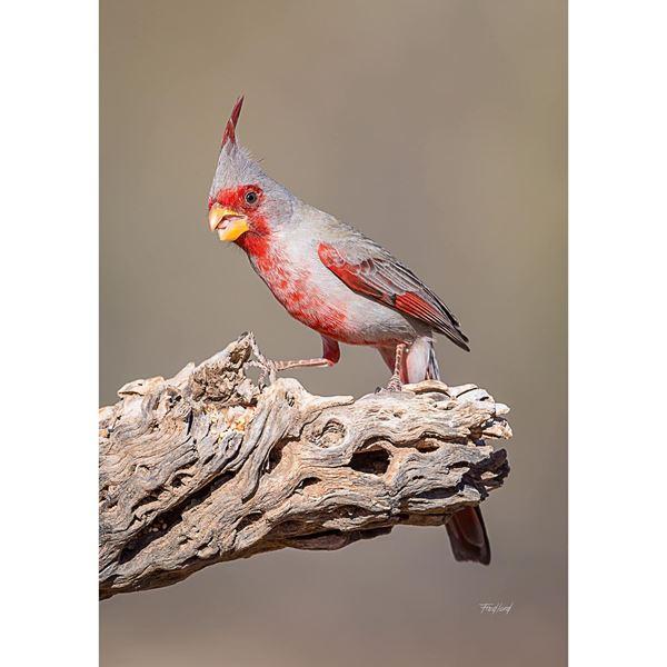 Desert Cardinal 24x16