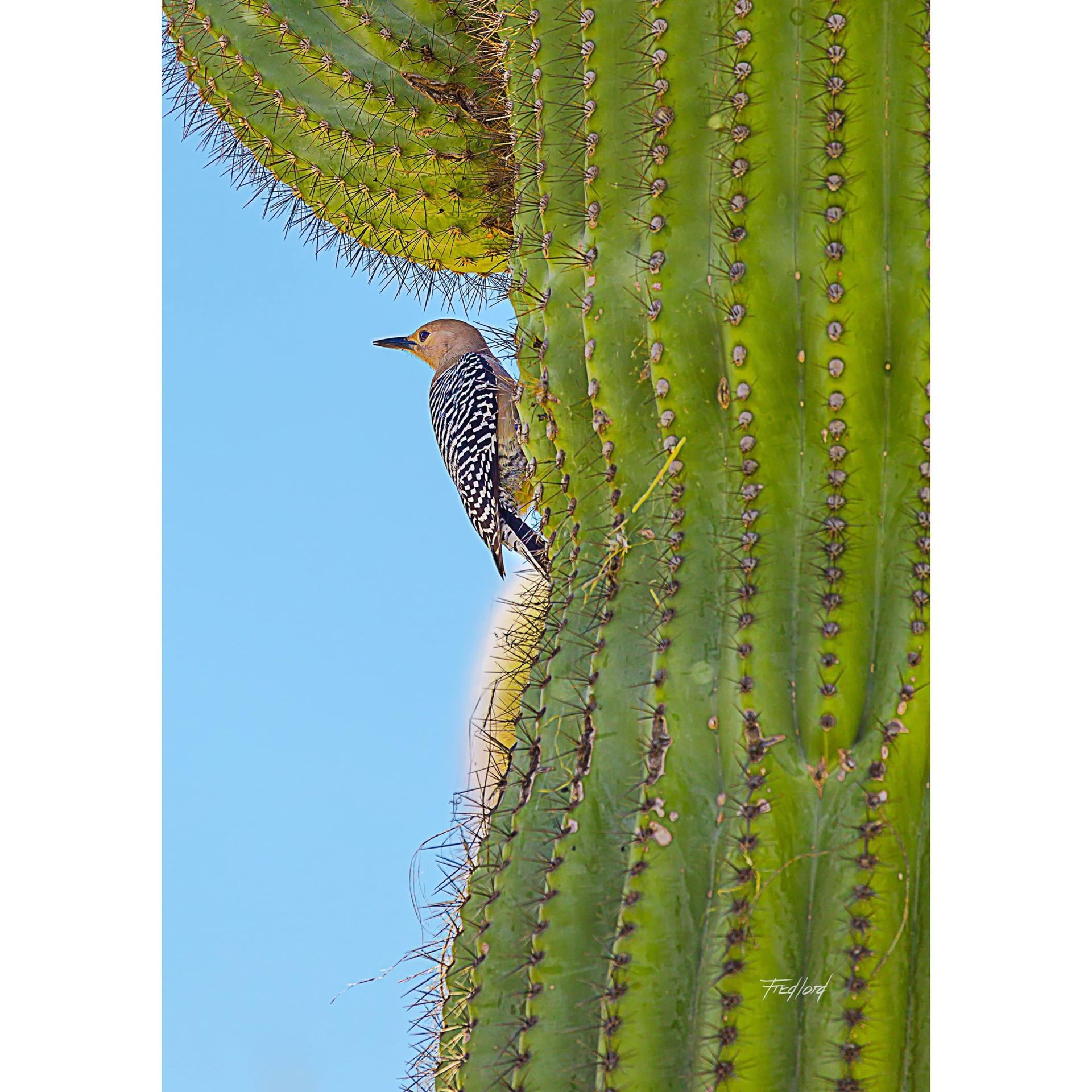 Woodpecker Guarding Her Nest 16x24