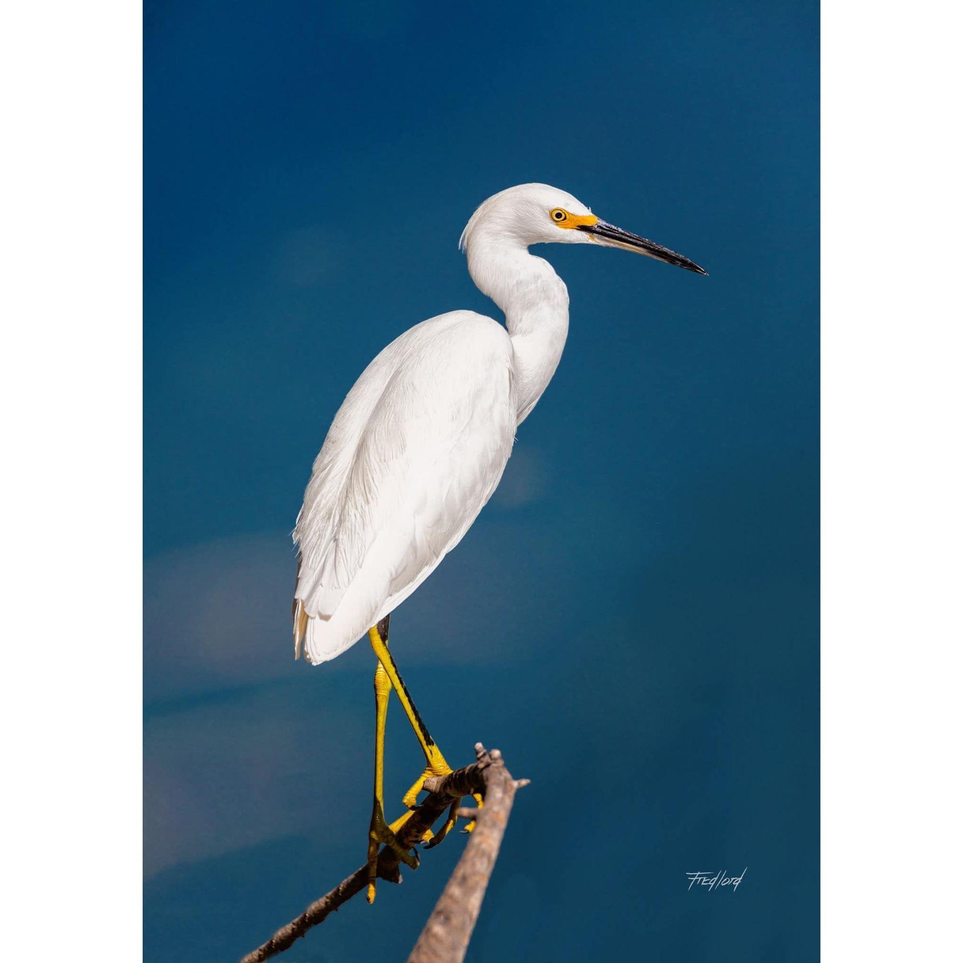 Snowy Egret 16x24