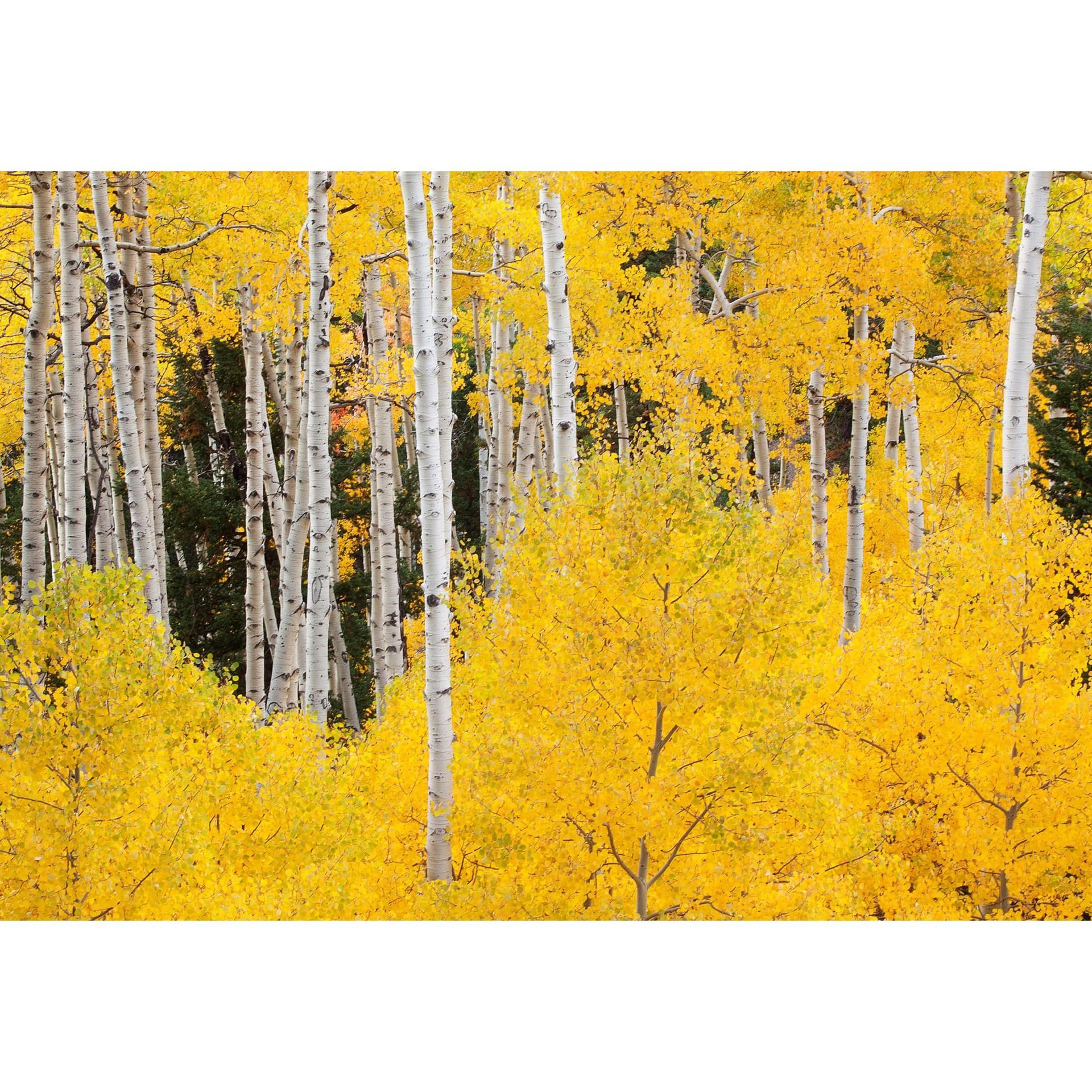 Aspens In The Colorado Rockies