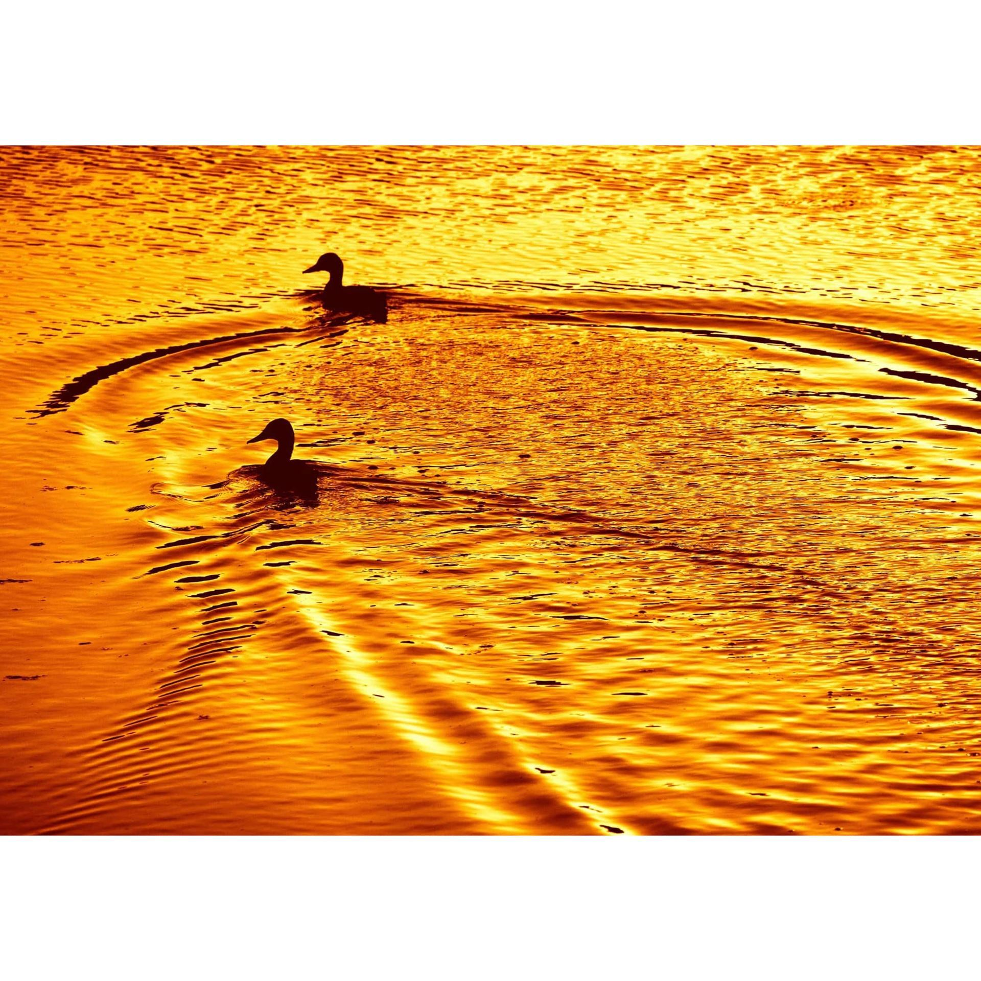 Ducks At Sunset 24x16