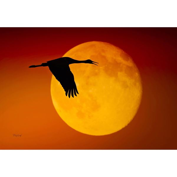 Sandhill Crane Against the Moon 36x24