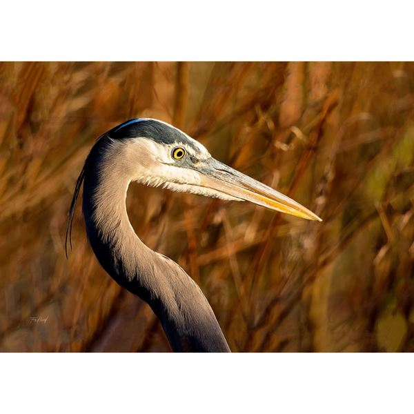 Great Blue Heron 16x24