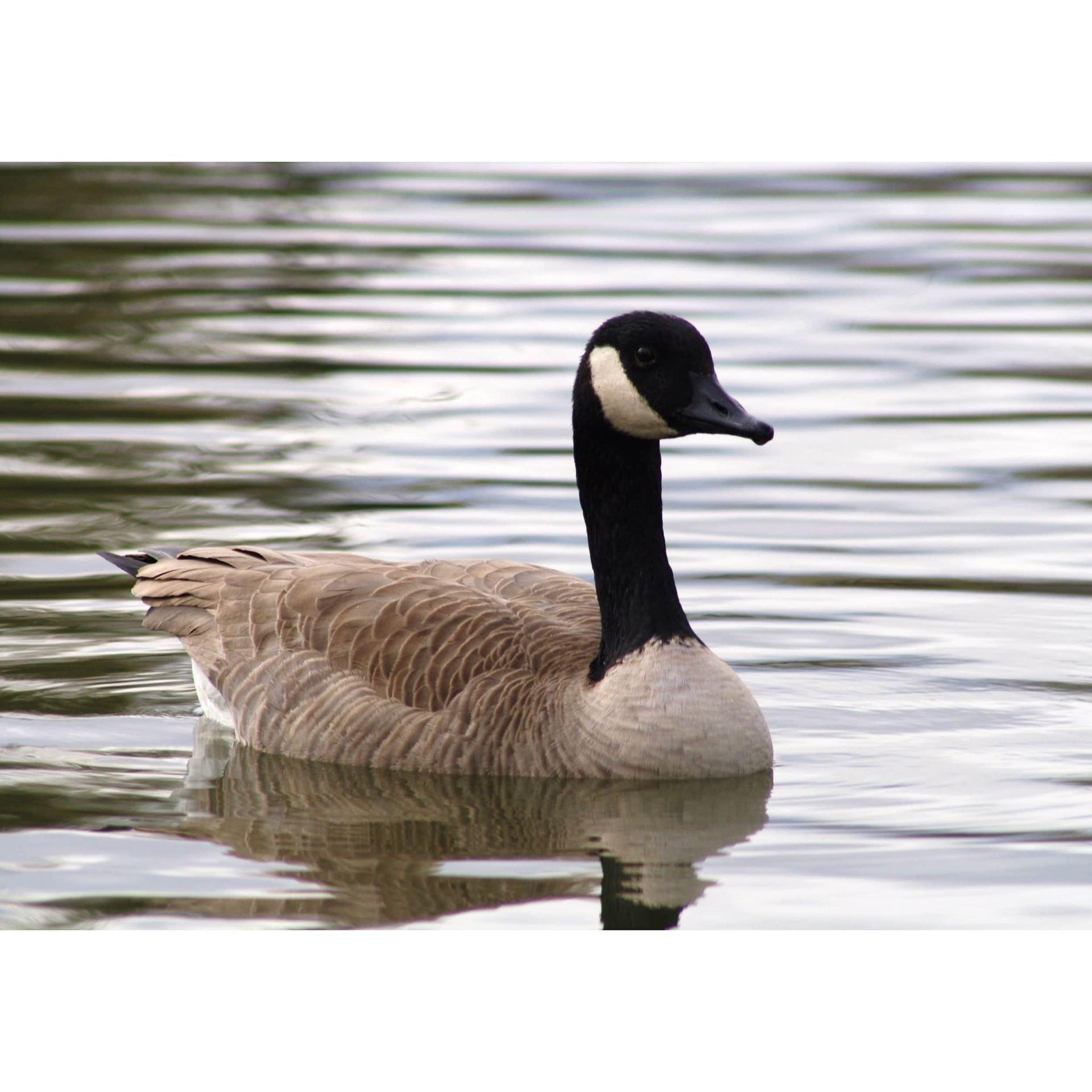 Grand Goose 24x16