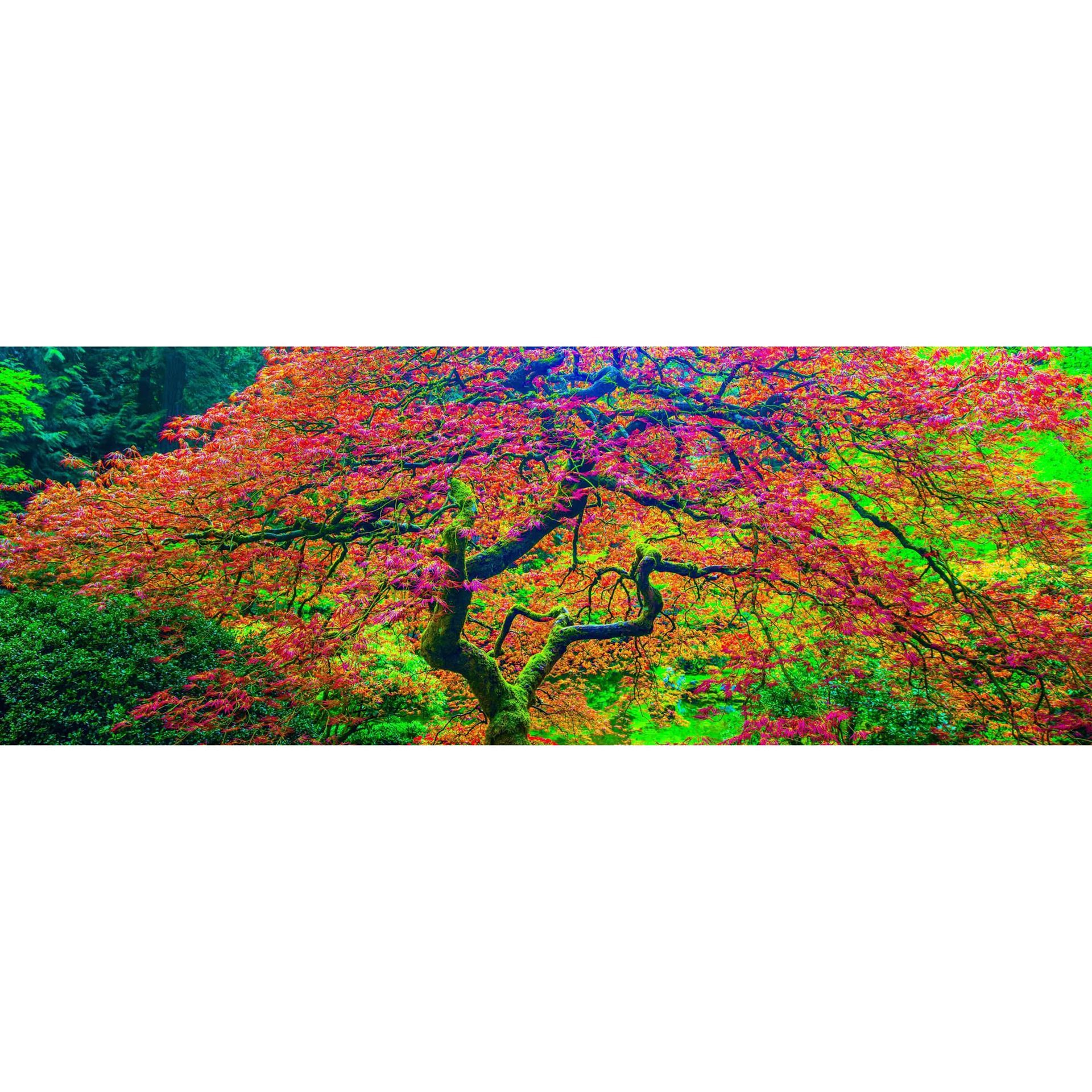 Japanese Maple 2 32x48