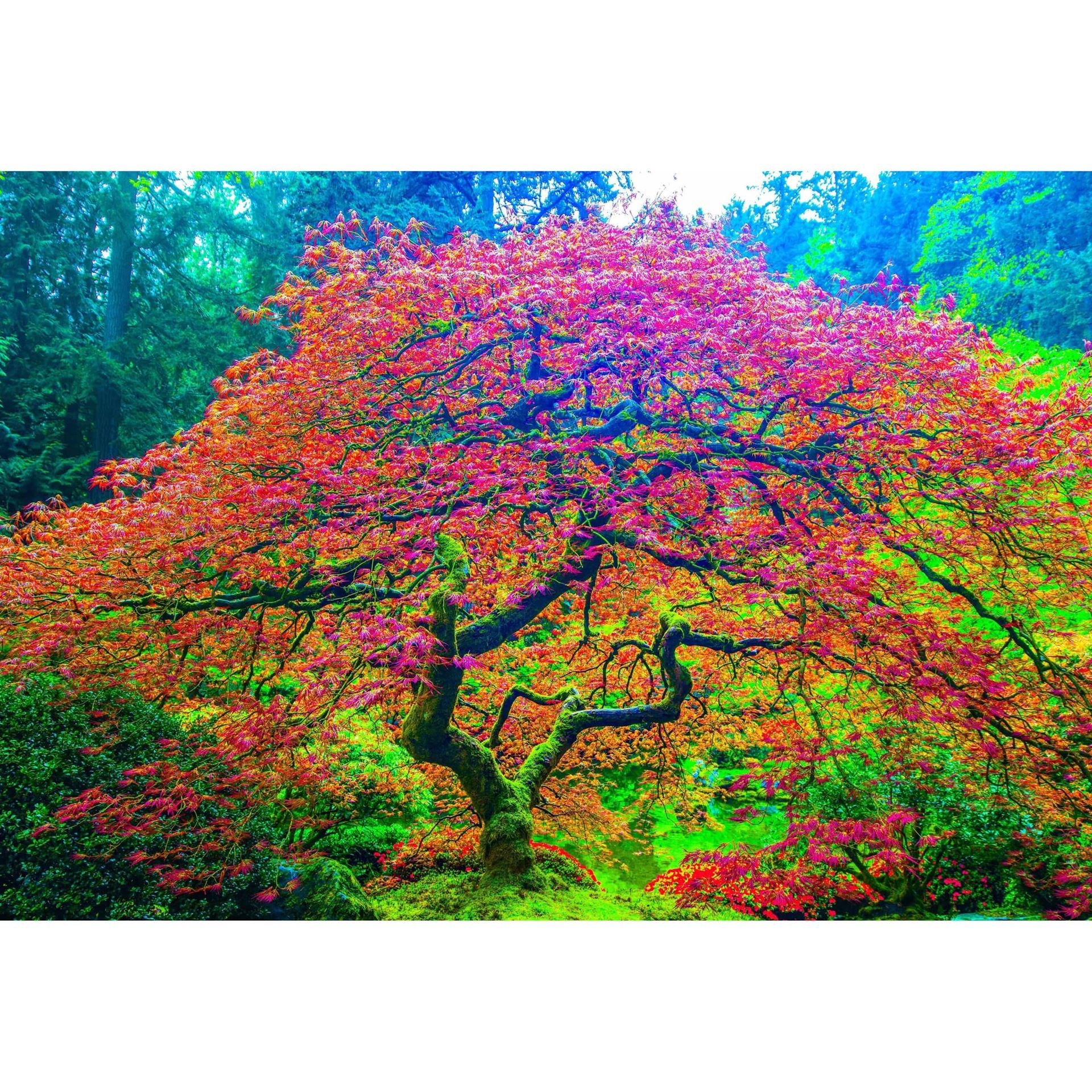 Japanese Maple 1 32x48 125 5433454 Mike Kim Afw Com