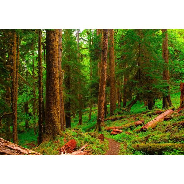 Spring in the Quinault Rainforest 48x32