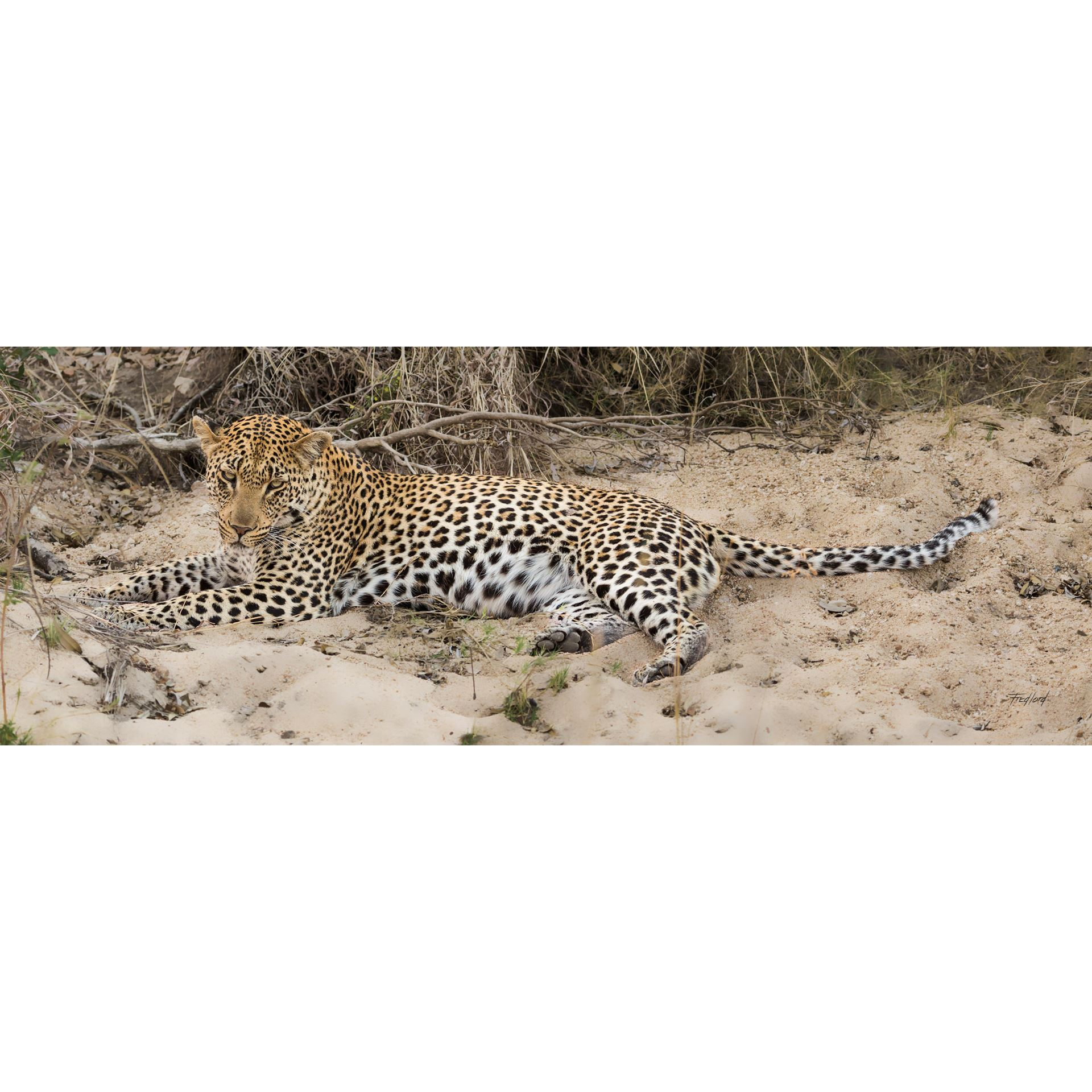 Young Brother Leopard 60x20