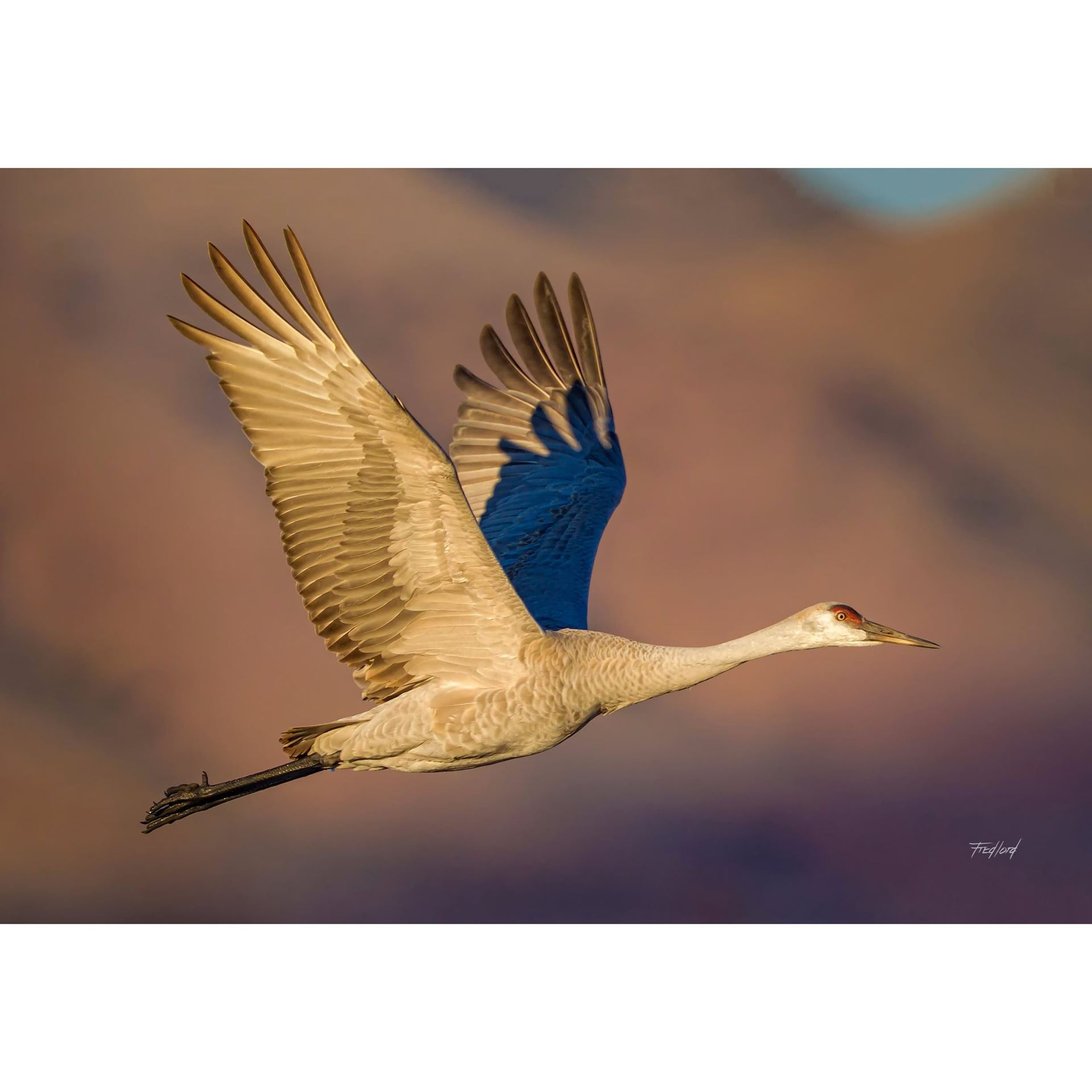 Picture of Sandhill Crane at Dawn 36x24 *D