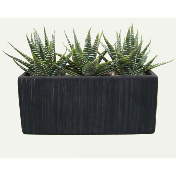 Picture of Aloe in Black Rectangle Terra Pot