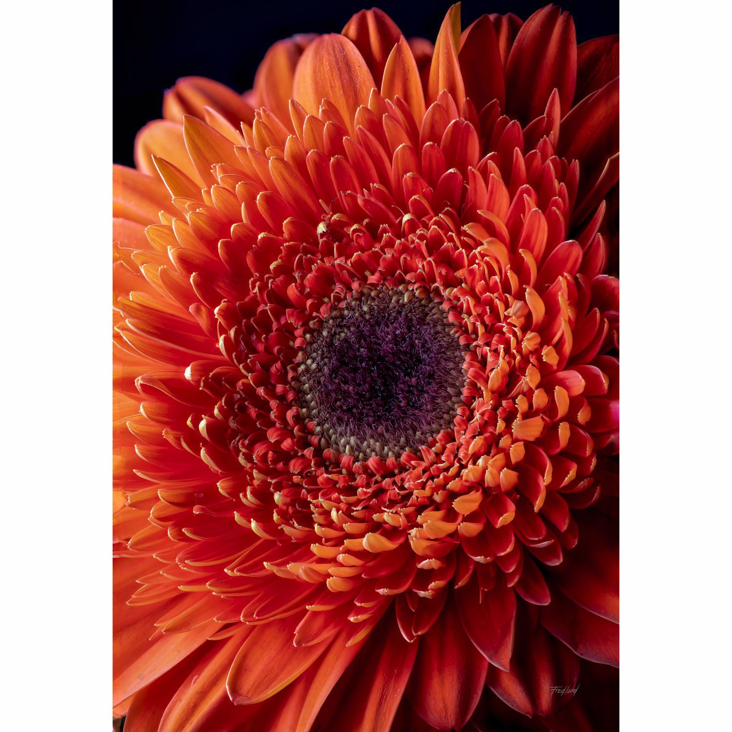 Picture of Flame Red Gerbera Daisy 36X24 *D
