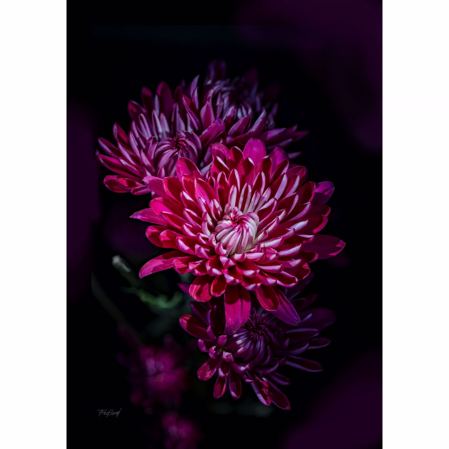 Picture of Variegated Purple Mums 24X16 *D