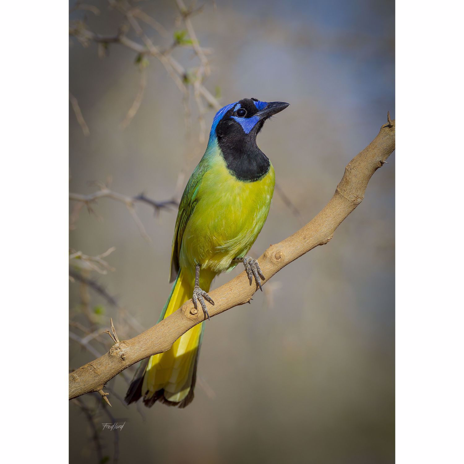 Picture of Green Jay - South Texas 24X16 *D