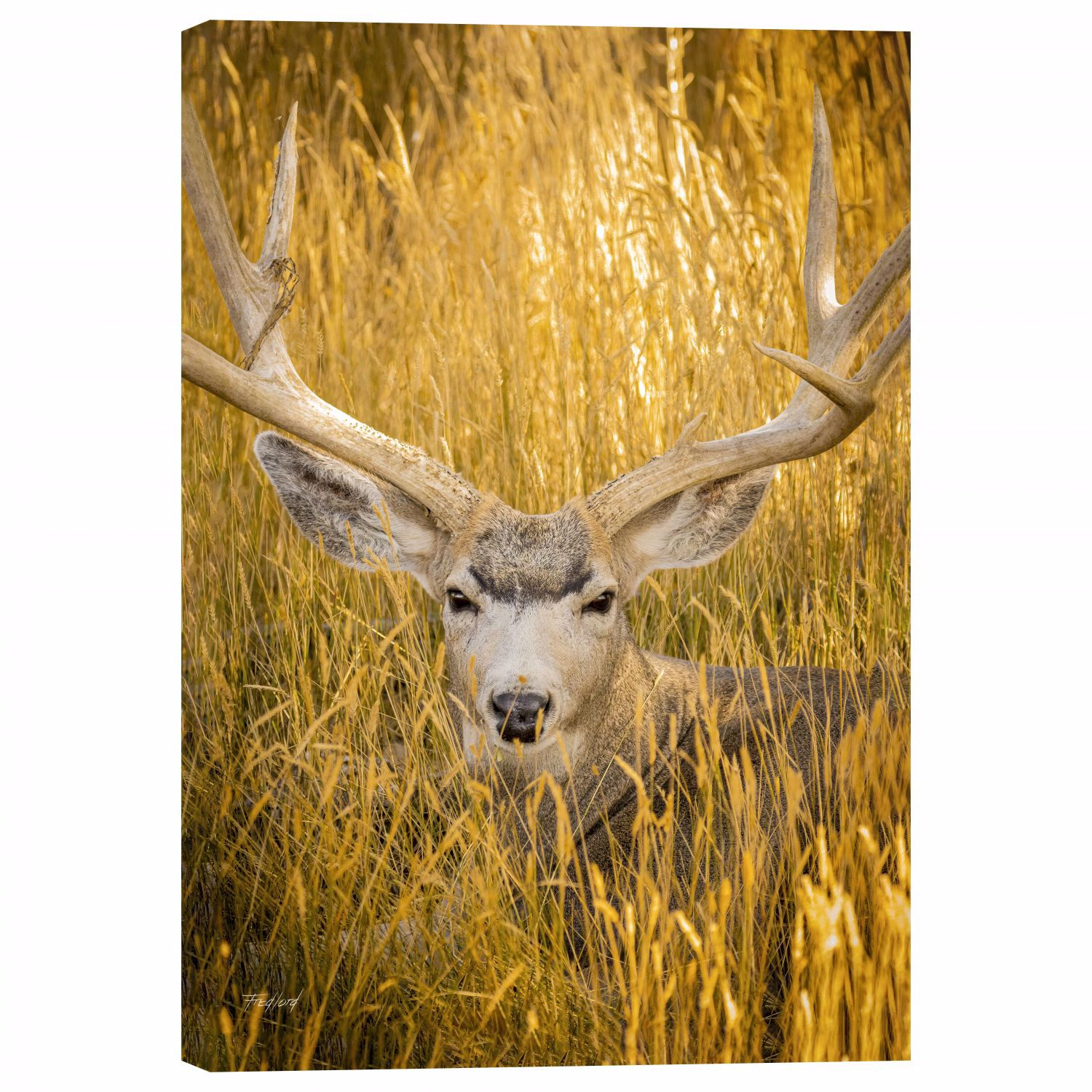 Picture of Mule Deer Buck 24x36 *D