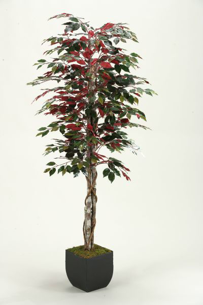 Picture of Red Ficus Tree 72 In W Metal Container