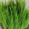 Picture of Malt Grass in Terracotta Pot
